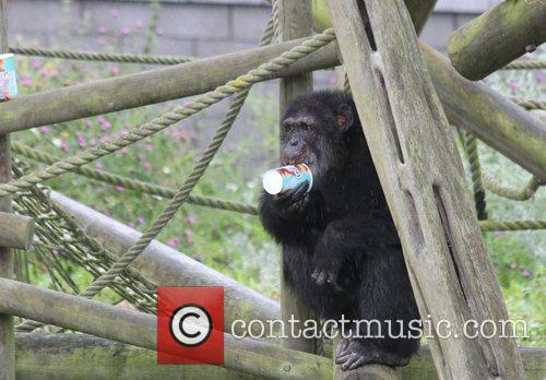 It might seem bananas, but Edinburgh Zoo's chimpanzees...