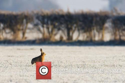 European Hare or Brown Hare (Lepus europaeus)