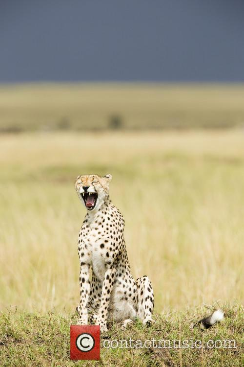 Yawn To Be Wild - Cheetah (Acinonyx jubatus)