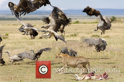 Cheetah Shoos Away Vultures