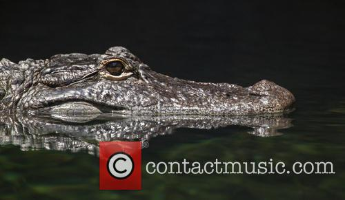 Reflective Alligator