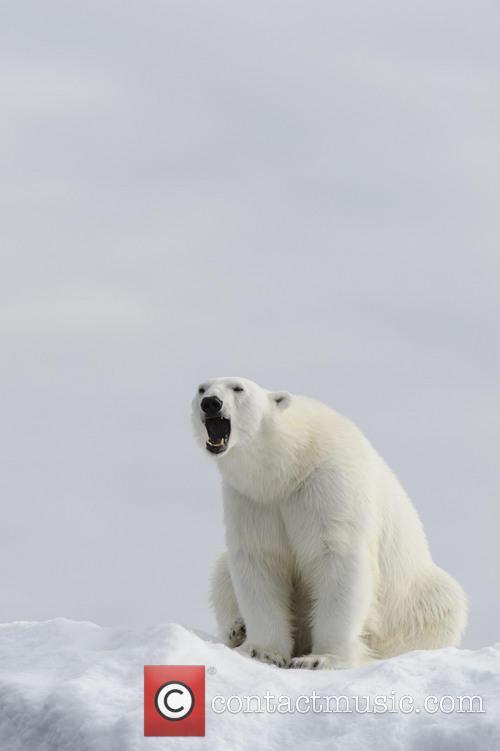 Yawn To Be Wild - Polar Bear