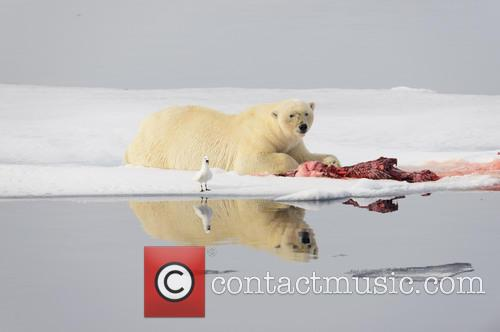 Polar Bear Necessities