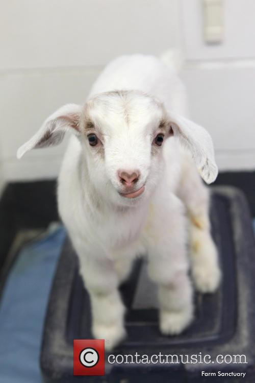 Maxie The Goat (formerly Known As Bella) 9