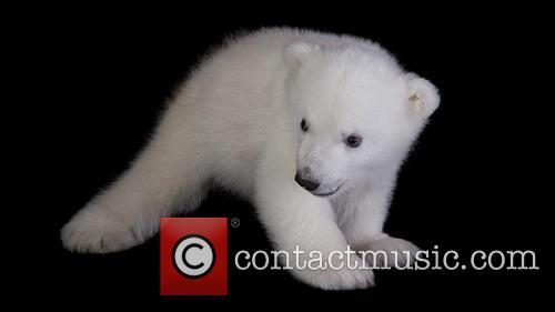 Three Months Old Polar Bear Cub 3