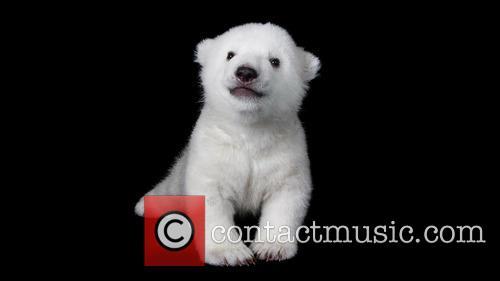 Two Months Old Polar Bear Cub 2