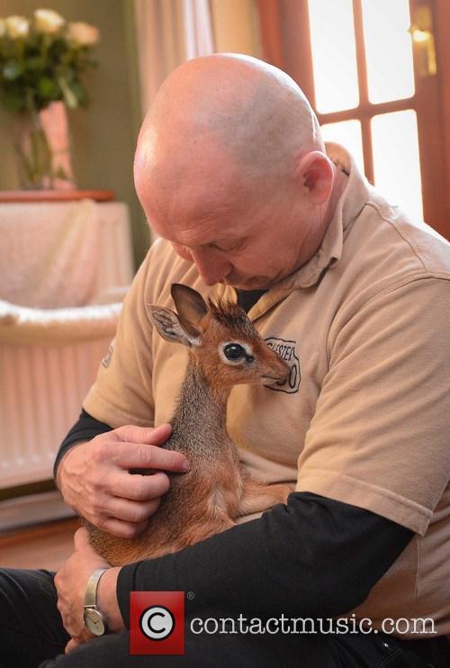 Tiny dik-dik antelope makes a big impact at...