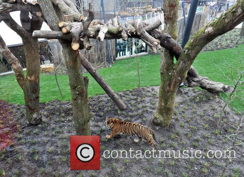 Tiger 8