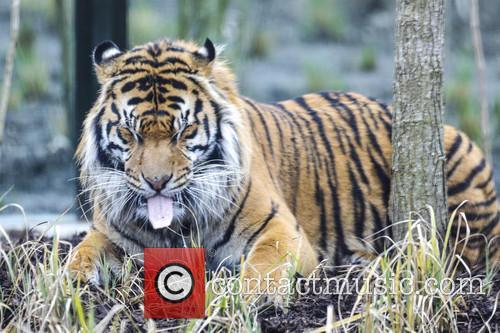 Tiger 9