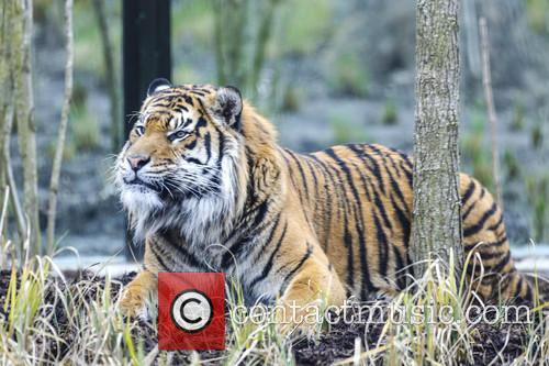 'Tiger Territory', a new tiger enclosure opens