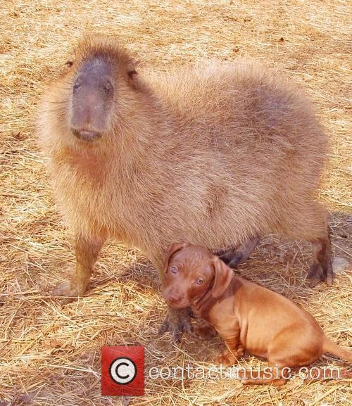Capybara 5