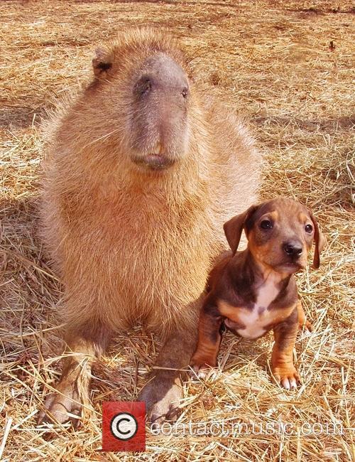 Capybara 7