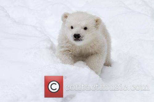 Kali The Polar Bear Cub At Four Months 2