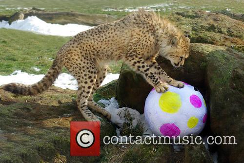 Early Easter treat for cheetah cubs