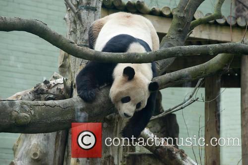 Panda Yang Guang at Edinburgh zoo