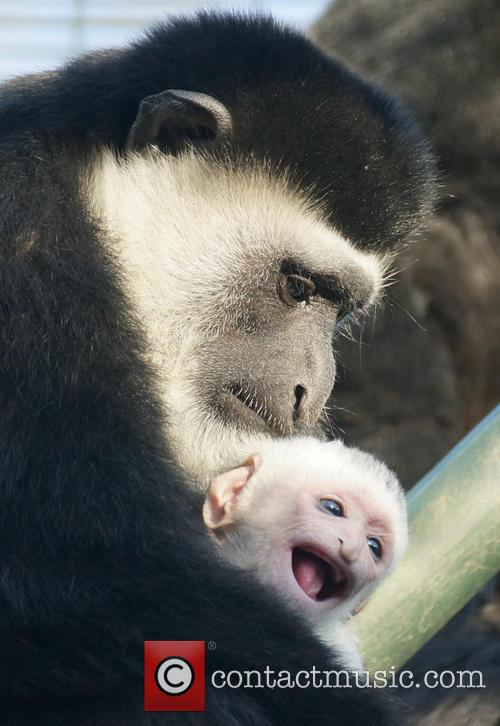 New baby colobus monkey born at ZSL London...