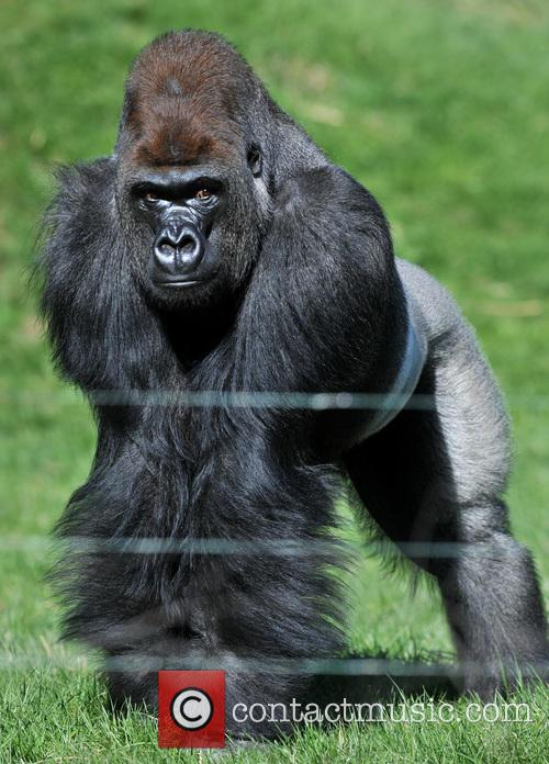 Kumbuka the silverback becomes the newest addition to...