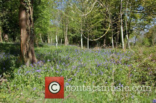 Bluebell woods in Hertfordshire.