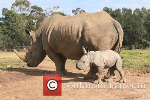 DWP White Rhino Calf