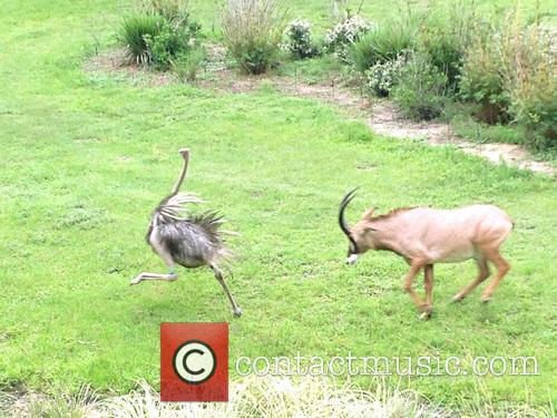 Antelope Chases Ostrich