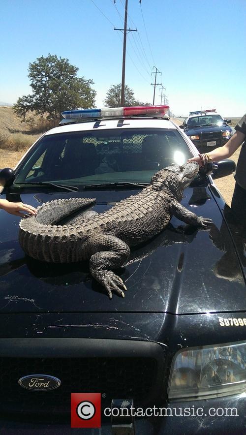 Alligator's Call of Nature