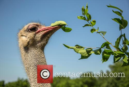 Low Browse Ostrich