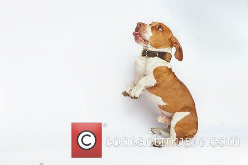 Walle - Four-year Old Part Boxer Beagle and Basset. World's Ugliest Dog™ 2013. 4