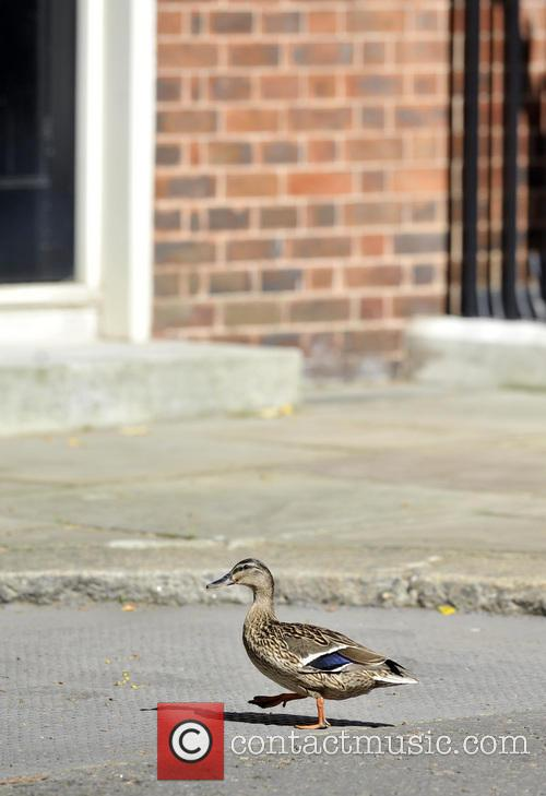 Wild Duck 8