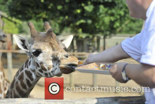 Giraffes at ZSL London Zoo are fed by...