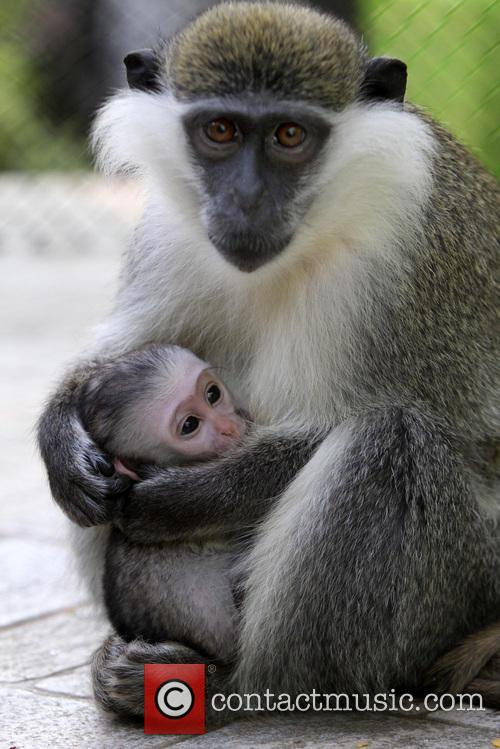 A 40-day-old monkey cuddles her mother at the...