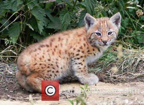 Public debut for lynx kitten triplets at ZSL...