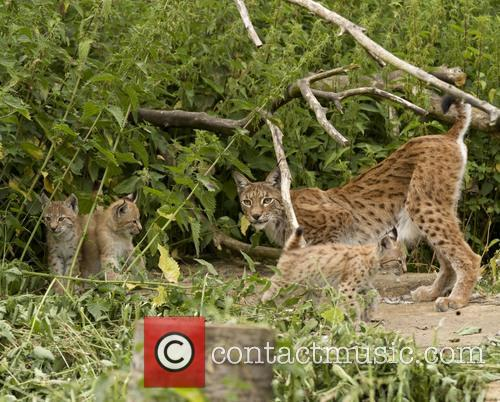 Public debut for lynx kitten triplets at ZSL...