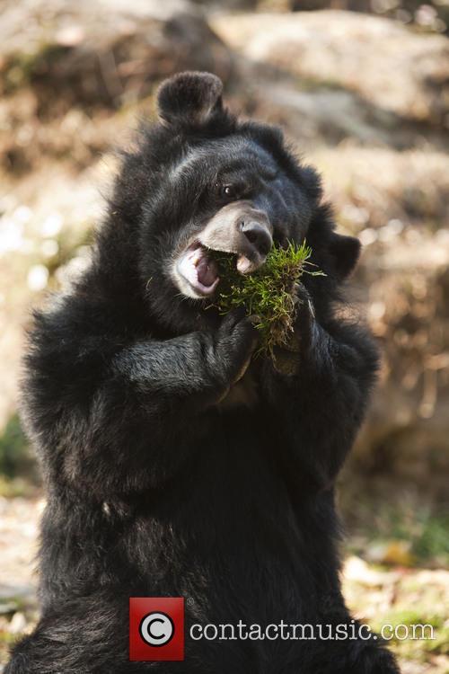 Darjeeling Moon Bear