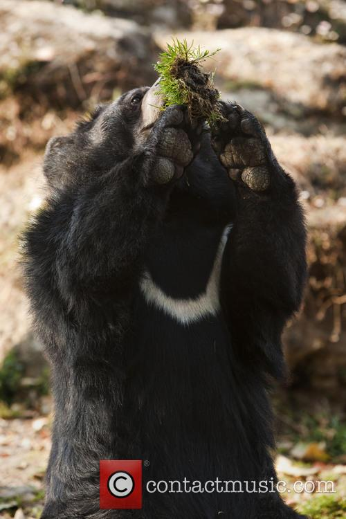 The Asian Black Bear (ursus Thibetanus) Aka Moon Bear Aka White Chested Bear 3
