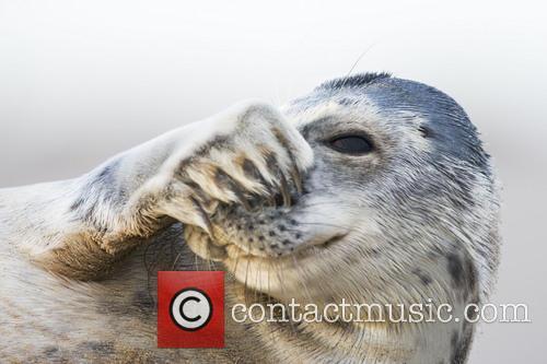 Shy Seal