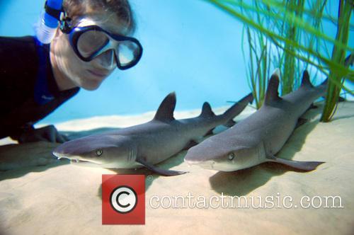 Whitetip Reef Shark 3