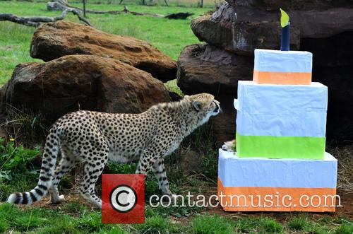 Cheetah cubs turn one