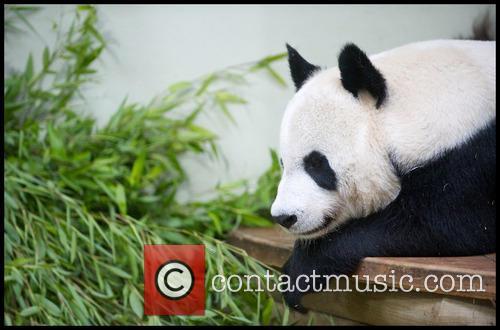Panda and Tian Tian 2