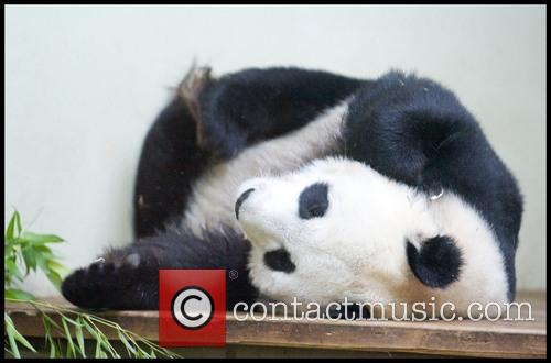 Panda and Tian Tian 3