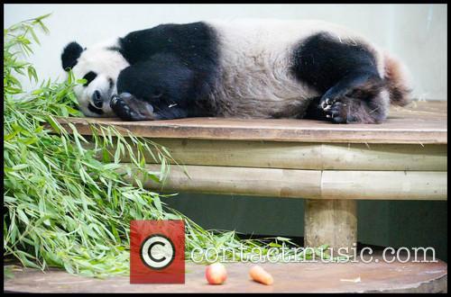 Panda and Tian Tian 4