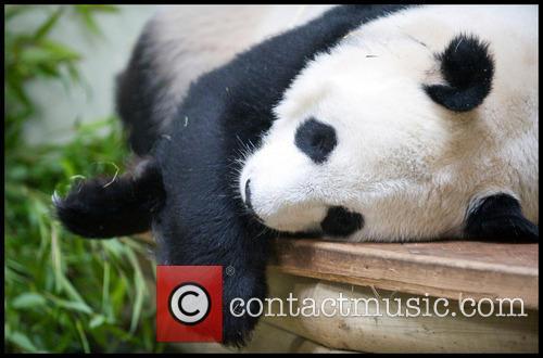 Panda and Tian Tian 7
