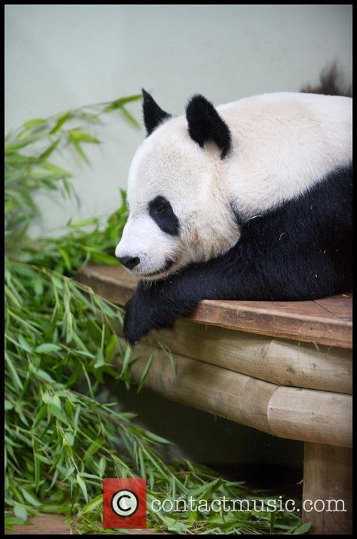 Panda and Tian Tian 8