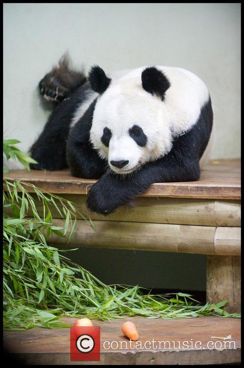 Panda and Tian Tian 9