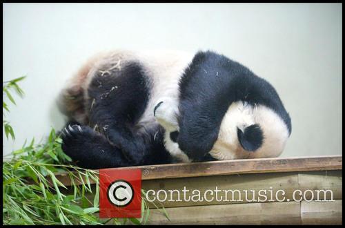Panda and Tian Tian 10