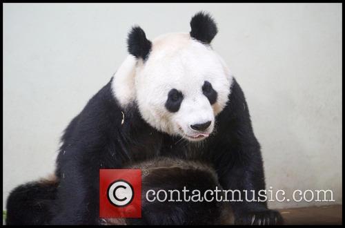 Panda and Tian Tian 11