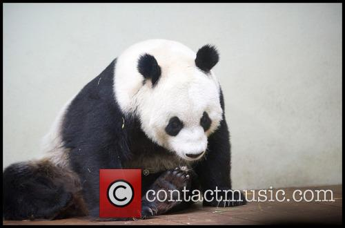Pregnancy Possible in Female Giant Panda