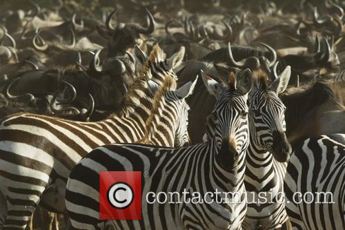 common wildebeest connochaetes taurinus plains zebra 3819337