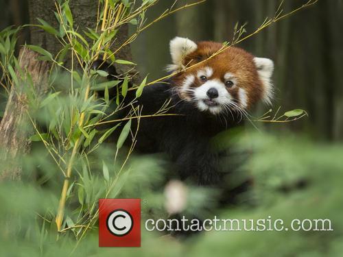 DWP Red Panda