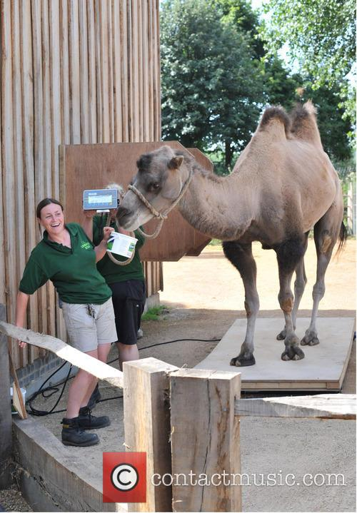 Bactrian Camel 3