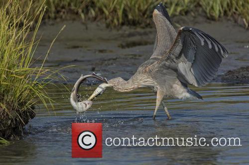 Heron takes on Shark